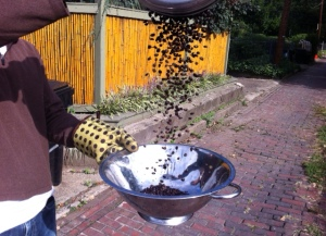 sifting coffee beans